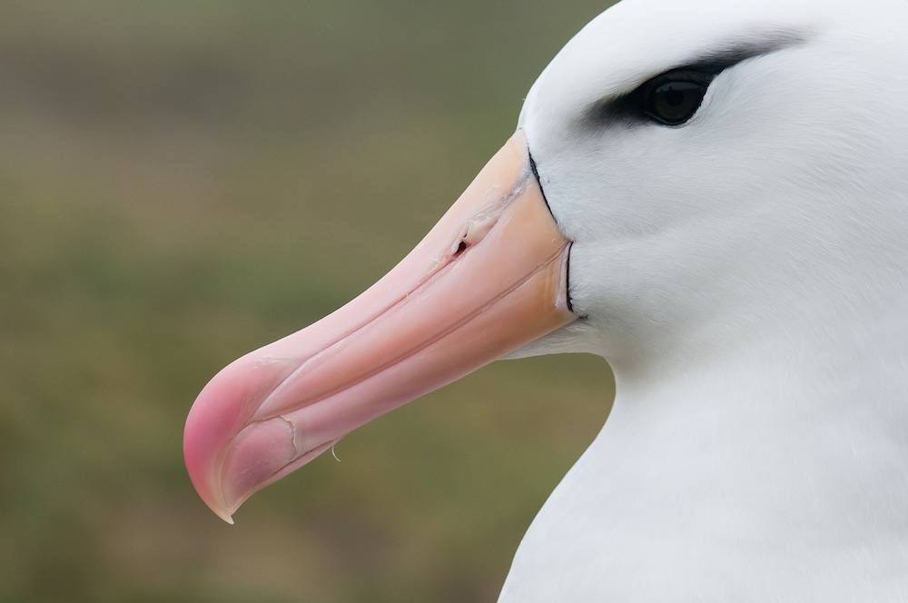 A photograph of an Albatross while viewing wildlife with One Ocean Expeditions in South Georgia and the Falkland Islands. Photo: David Sinclair