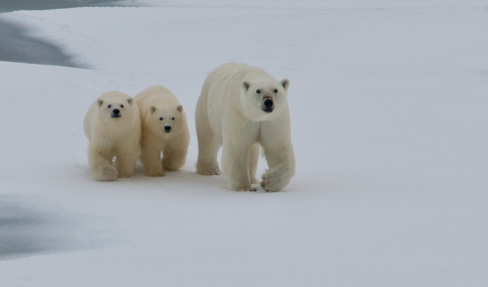 A family of polar bears are photographed during a One Ocean Expedition in Labrador. Photo: Mark Robinson