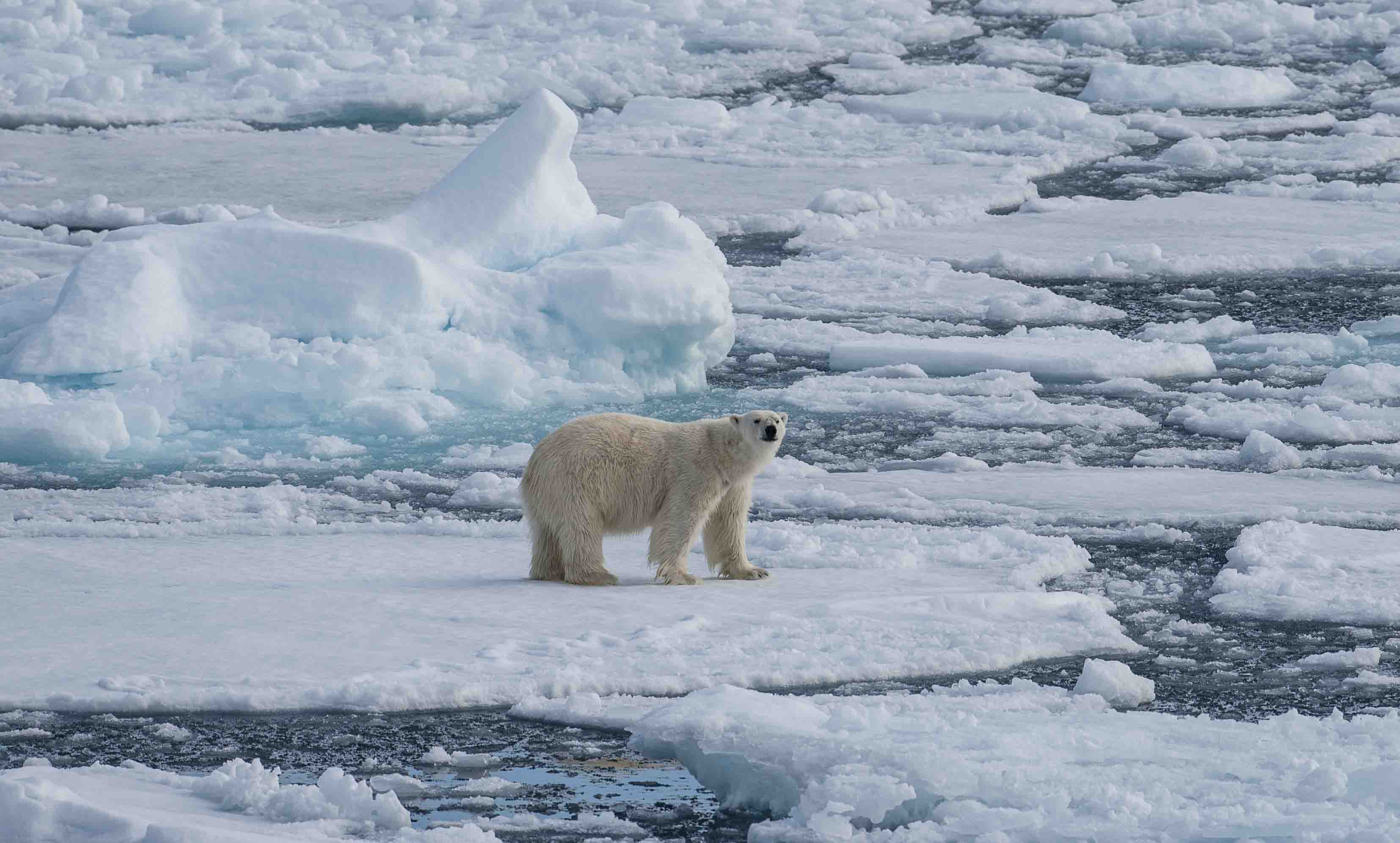 Polar bears, seals and beluga whales can be seen on expedition cruises to the Canadian Arctic.