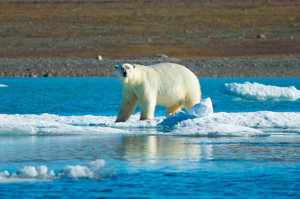 Polar bear photographed on an ice sheet in the Arctic during a One Ocean Expeditions voyage.