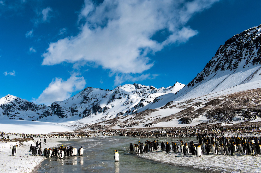 One Ocean Expeditions cruise passengers visit a King Penguin colony in South Georgia. Photo: Renato Granieri
