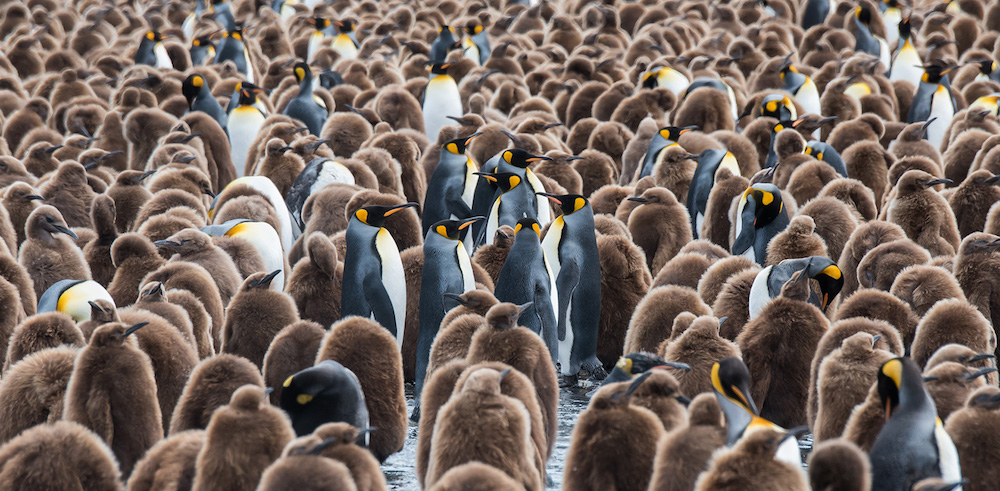 A king penguin colony in South Georgia, taken while on a One Ocean Expeditions onshore excursion. Photo: David Sinclair
