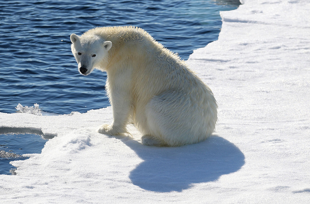One Ocean Expeditions takes guests to view polar bears in Spitsbergen. Image by Monica Max West