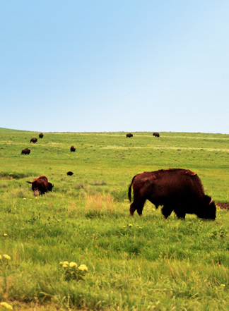 Guests can usually view one or more small bison herds at the Tallgrass Prairie Preserve in Pawhuska.
