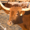 Cattle ranches such as the Longhorn-Flying G Ranch in Duncan still abound along Highway 81.