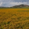 Spring rains bring a dazzling display of yellow wildflowers to the Wichita Mountain area near Lawton.