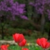 Bright red tulips pop against a background of redbud trees in Muskogee's Honor Heights Park.