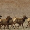 Large and graceful, these elk are running in the Wichita Mountains Wildlife Refuge near Lawton.