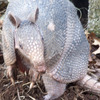 Grand Lake in northeastern Oklahoma is home to many wildlife species like this armadillo.