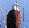 Grand Lake is a popular nesting location for eagles that winter in Oklahoma.