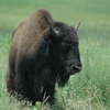 A buffalo stands alone on the plains at the Tallgrass Prairie Preserve near Pawhuska in northeastern Oklahoma.