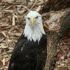 Bald eagles take up residence in Oklahoma during the winter months and can be viewed November through February near most large bodies of water.  Eagle watch events occur across the state to help visitors spot them.