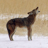 A coyote lifts his head and howls on a winter day in northeastern Oklahoma.