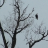 A bald eagle watches for prey from his perch atop one of the few trees in the Tallgrass Prairie Preserve near Pawhuska.