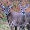 Two whitetail deer stop grazing in Osage Hills State Park, which is located near Pawhuska and home to a wide variety of wildlife.