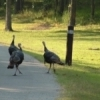 Wild turkeys stroll along the road through Osage Hills State Park near Pawhuska.