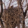 An eagle sits on a nest near the banks of the Arkansas River in Sand Springs.