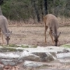 Three deer line up to graze along the shore of Lake Eufaula.