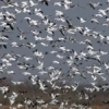 Snow geese take flight at the Sequoyah National Wildlife Refuge near Vian.