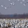 Snow geese crowd the ground and take to the air at the Sequoyah National Wildlife Refuge near Vian.