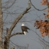A bald eagle perches atop a tree on the shore of Claremore Lake.
