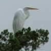 An egret goes out on a limb on a peaceful Oklahoma morning.