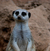 A meerkat stands alert as he scans visitors at the Oklahoma City Zoo.  The zoo is consistently rated among the top zoos in the nation and showcases over 2,500 animals in state-of-the-art exhibits on 110 beautifully-landscaped acres.