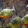 A school of piranhas swims in one of the aquariums at the Oklahoma City Zoo.