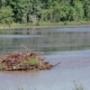 A beaver lodge in a pond as seen from Highway 9 just west of the town of Pink.