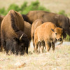 A calf sticks to its mother's side in a free ranging buffalo herd at the Wichita Mountains Wildlife Refuge in Lawton.