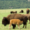 A buffalo calf nurses at the Wichita Mountains Wildlife Refuge in Lawton.  Free ranging buffalo herds can usually be seen from the roads that wind through the refuge.