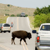 Buffalo are a common sight along the roadways through the Wichita Mountains Wildlife Refuge in Lawton.  This one is certainly not shy about stopping traffic as he ambles across the road.