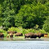 A free-ranging bison herd enjoys a cool dip in the waters of the Wichita Mountains Wildlife Refuge in Lawton.
