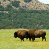 A pair of magnificent bison are a commanding presence on the fields of the Wichita Mountains Wildlife Refuge in Lawton.