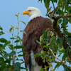 A common sight in Oklahoma during winter, bald eagles are typically found around the state's larger lakes.