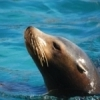 The stars of the Tulsa Zoo's Oceans and Islands exhibit are the California sea lions.