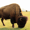 A powerful bull bison grazes at the Pawnee Bill Ranch Historic Site & Museum in Pawnee.