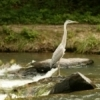 A great blue heron fishes in the streams of Beavers Bend State Park in southeastern Oklahoma.