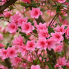 Pink perfection adorns Honor Heights Park in Muskogee.  The park hosts the annual Azalea Festival in April to show off its springtime splendor.