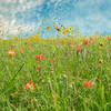 Springtime brings a color explosion as wildflowers bloom throughout Oklahoma creating picture perfect scenery.