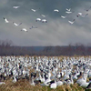 A congregation of snow geese is quite a sight at the Sequoyah National Wildlife Refuge in Vian.  The refuge is a birder's paradise with ducks, geese, wading and shorebirds, songbirds, quail and more.
