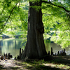The roots of this massive cypress tree create an interesting shoreline site at this pond in Muskogee's Honor Heights Park.