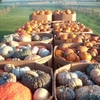 Each fall, Shepherd's Cross farm in Claremore transforms into a pumpkin patch for the annual Pumpkin Festival filled with family activities including a petting zoo, festive fall games, hay maze, hay rides and more.