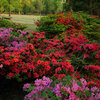 Colorful azaleas adorn Honor Heights Park in Muskogee each April during the Azalea Festival.