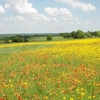 Oklahoma's state wildflower, the Indian Blanket, creates scenic golden pastures near the Arbuckle Mountains in Davis.  There are scenic pullouts along I-35 offering views over the Arbuckles.