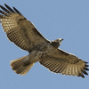 A hawk soars over Lake Thunderbird State Park in Norman where a variety of wildlife can be found.