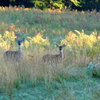 Three deer peep over the tall grass near Lake Eufaula.