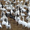 Snow geese congregate during winter at the Sequoyah National Wildlife Refuge near Vian in eastern Oklahoma.