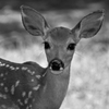A fawn poses at Lake of the Arbuckles in south central Oklahoma.  The lake is part of the Chickasaw National Recreation Area which offers camping, hiking, swimming and abundant wildlife viewing.