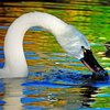 An elegant swan is a beautiful sight swimming at the top-rated Oklahoma City Zoo.